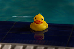 Rubber ducky floating in a swimming pool. Yellow rubber ducky floating in a swimming pool Stock Images