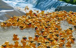 The Rubber Ducky Race begins with hundreds floating down a man-made chute. royalty free stock photo