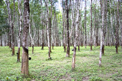 Rubber Estate. Rows of tapped rubber trees at a rubber estate in Malaysia. Cups at the side of the tree trunks are for collecting the latex that is bled from the Royalty Free Stock Images