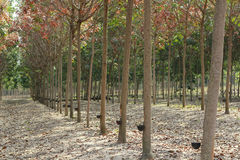 Rubber Estate. Rows of tapped rubber trees at a rubber estate in Thailand. Cups at the side of the tree trunks are for collecting the latex that is bled from the Stock Photo