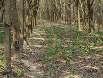 Rubber Estate. Rows of tapped rubber trees at a rubber estate in Thailand. Cups at the side of the tree trunks are for collecting the latex that is bled from the Stock Photos