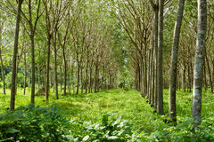 Rubber farm Royalty Free Stock Photography