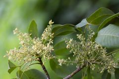 Rubber flowers Hevea brasiliensis and green leaves in garden