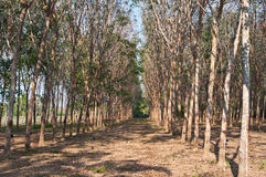 Rubber forest. Rubber trees are deciduous in the winter in Thailand royalty free stock photo