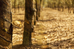 Rubber forest in Gia Lai Royalty Free Stock Photos