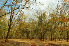 Rubber forest in Gia Lai Stock Photos