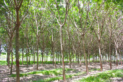 Rubber forest Stock Photos
