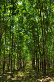 Rubber Forest Royalty Free Stock Image