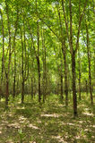 Rubber Forest Stock Image