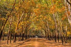 Rubber forest in Viet Nam Stock Photography