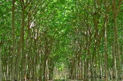 rubber knackande lätt på tree för latex Arkivbilder