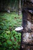 rubber knackande lätt på tree för latex Royaltyfri Bild