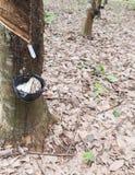 Rubber knackning thailand Arkivfoto