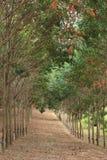Rubber koloni Royaltyfria Bilder