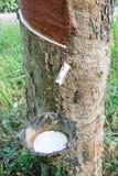 Rubber koloni från sounthern Arkivbilder