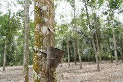 Rubber Latex Plantation Royalty Free Stock Images