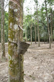 Rubber Latex Plantation Stock Photos