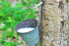 Rubber latex of rubber tree royalty free stock photos