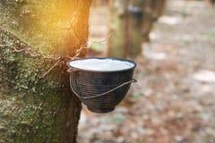Rubber latex som fångas från gummiträdet i bunke Fotografering för Bildbyråer