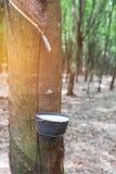 Rubber latex som fångas från gummiträdet i bunke Royaltyfria Bilder