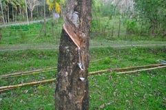 Rubber latex tree Stock Photo