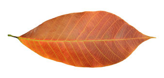 Rubber leaf Royalty Free Stock Image