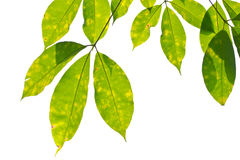 Rubber leaves. Stock Image
