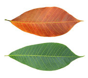 Rubber leaves Stock Photo