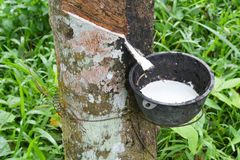 Rubber milk in rubber bowl from rubber tree plant Stock Image