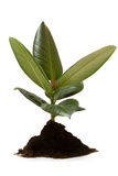 Rubber plant, ficus Royalty Free Stock Photos