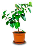 Rubber plant Stock Images