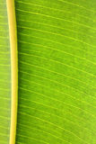 Rubber plant green leaf with veins macro Stock Image