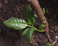 Rubber plant sprout Stock Image