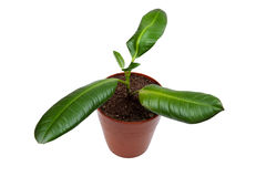 Rubber plant on white background Royalty Free Stock Image