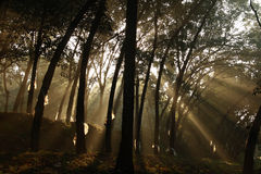 Rubber plantation. Morning sunlight falling on rubber trees Stock Photography