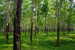 Rubber plantation. Forest of rubber trees iluminated by sunlight Royalty Free Stock Photos