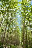 Rubber plantation. Rubber trees plantation in thailand Stock Images