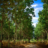 Rubber Plantation. Row of rubber trees in a rubber plantation field Royalty Free Stock Photo