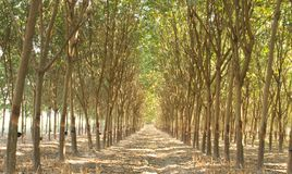 Rubber plantation Stock Photo
