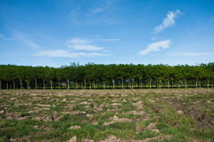 Rubber plantation Stock Photos