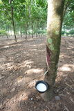Rubber Plantation Royalty Free Stock Images