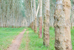Rubber plantation. In Southern of Thailand Stock Photography