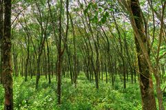 Rubber Plantation Royalty Free Stock Image