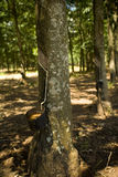 Rubber Plantation. Tapping latex from a rubber tree in Sao Paulo, Brazil Stock Image