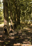 Rubber Plantation. Tapping latex from a rubber tree in Sao Paulo, Brazil Stock Images