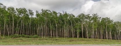 Rubber plantation as seen on the way to Yamoussoukro Ivory Coast Cote d`Ivoire. West Africa. There are several uses of rubber as in making tires, gloves, seats stock photos