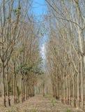 Rubber Plantation in autumn Stock Photo