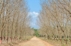 Rubber Plantation in autumn Royalty Free Stock Images