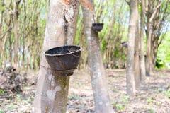Rubber plantation and forest. Of Chanthaburi Thailand Stock Image