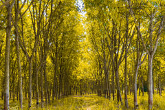 Rubber plantation and forest. Of Chanthaburi Thailand Royalty Free Stock Photos